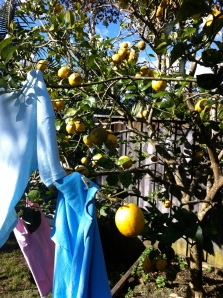 Mum's lemon tree with the washing hanging on it