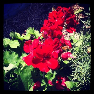 Geranium in my street