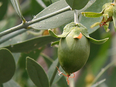 jojoba - it look a lot like an olive doesn't it?