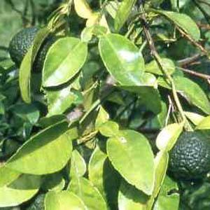 petitgrain (citrus aurantium v amara)
