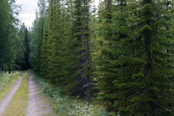 a fir forest in Finland borrowed from cartinafinland.fi