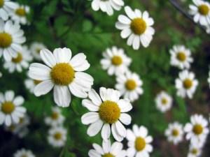 German chamomile - Matricaria recutita