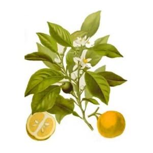 Citrus aurantium ssp amara or var. amara