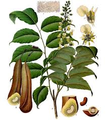 Myroxylon balsamum - Peru or Tolu Balsam (pic sneakily borrowed Fragrantica)