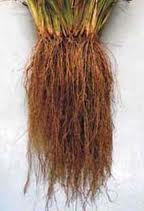 Hairy vetiver root