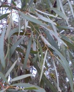 Eucalyptus polybractea