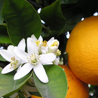 orange blossom = neroli