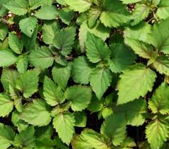 patchouli - looks a bit like mint