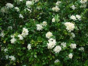 Murraya paniculata - the flowers even look like jasmine