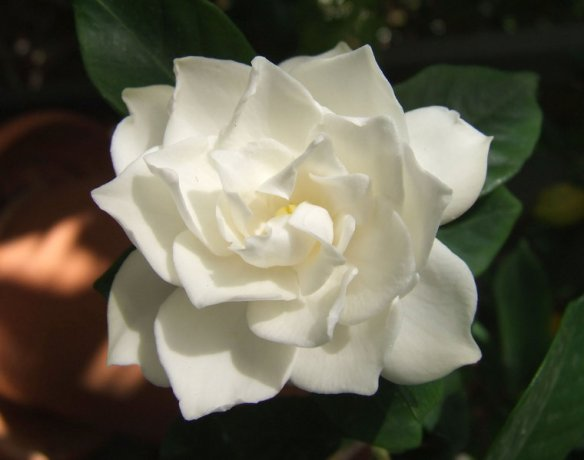 the beautiful gardenia