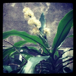 My Flowering Happy PlantDracaena fragrans CV Massangeana,