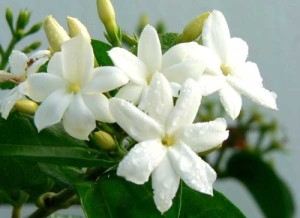 the fragrant jasmine blossom