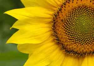"The ""Golden Ratio"" seen in the centre os this sunflower is a code found throughout the universe"