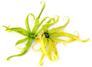 The spidery, seductive Ylang Ylang flower
