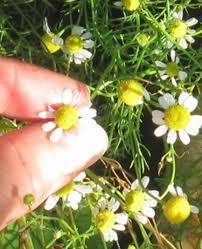 German chamomile - Matricaria chamomilla or Matricaria recutita)