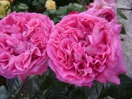 Rosa centifolia - another rose used to make essential oil