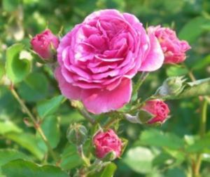 Rosa damascena - the most used rose for oil production