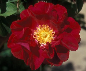 "Rosa gallica - a sub species named ""James Mason"""