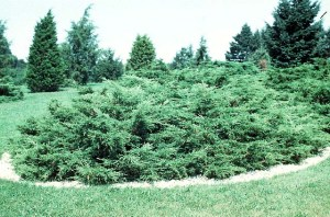 sprawling juniper bush