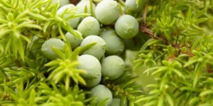 young unripe juniper berries