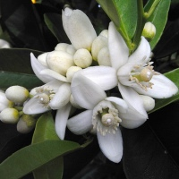 10 Recipes with Neroli Essential Oil - Citrus aurantium ssp amara/Bigaradia