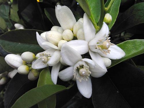 citrus blossom that makes neroli oil
