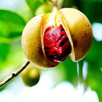 Nutmeg – A Spice Oil of Mysticism and Intrigue! | suzannerbanks