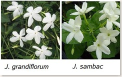 The Jasmines - grandiflorum and sambac