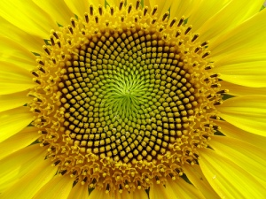 A sunflower is a representation of the golden ratio