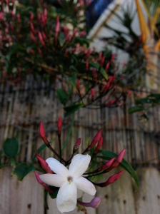 A jasmine blossom in Sydney