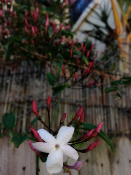 A jasmine blossom in Sydney - pic by me