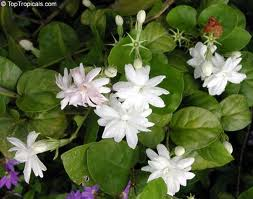 Jasminum sambac promises to hypnotise you