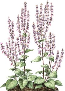 Flowering Clary sage pic via bellasugar.com