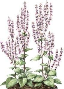 Flowering Clary sage pic via bellasugar.com