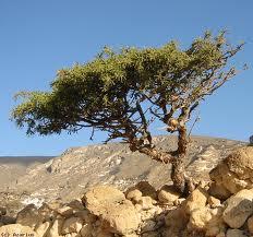 myrrh tree pic via azarius.net