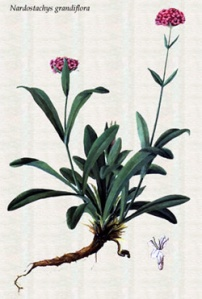 Nardostachys grandiflora or Nardostachys jatamansi pic via www.medievalcookery.com