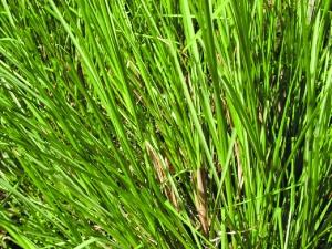 palmarosa pic via choicehealthmag.com