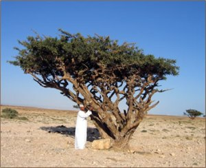 frankincense tree pic via herbsocietyvic.org.au