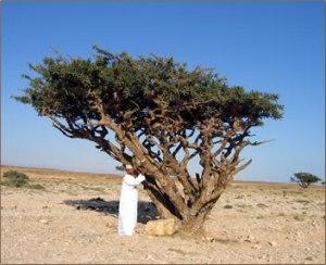 frankincense tree pic via herbsocietyvic.org.au
