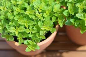 Marjoram is a dainty herb with a big scent - pic via thelastrevelation.com