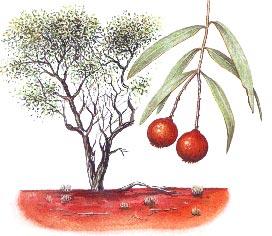 Australian Sandalwood - pic via www.australian-aridlands-botanic-garden.org