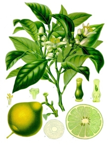 A wonderful botanical illustration of bergamot in Kohler's Medizinal Pflanzen - pic via  en.wikipedia.org