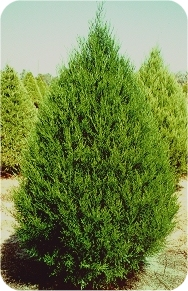 Eastern Red Cedar pic via www.realchristmastrees.org