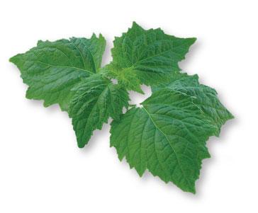 Patchouli leaf - pic via www.vanaroma.com