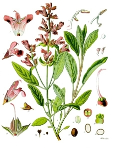 Sage -  illustration from Köhler's Medizinal Pflanzen