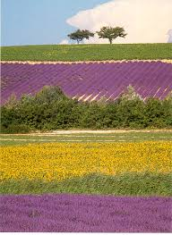 French lavender fields create a colourful landscape with their colour AND scent!