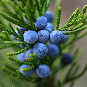 Juniper berries - pic via www.thedrinksbusiness.com