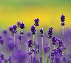 Lavender is unassuming yet powerful - pic via fanpop.com
