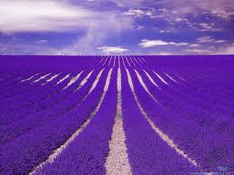 Fields of lavender never cease to amaze me!