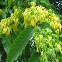 Ylang Ylang Essential Oil - Yeah!